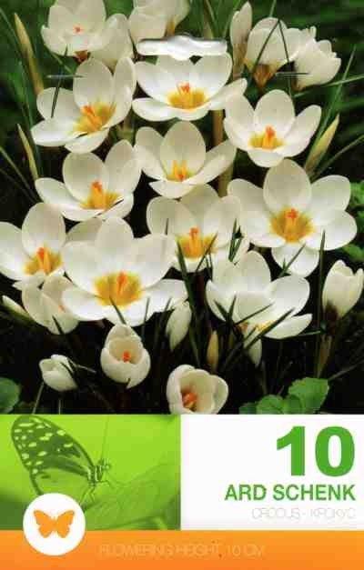 Bulbi de branduse - Crocus chrysanthus Ard Schenk - 10 bulbi