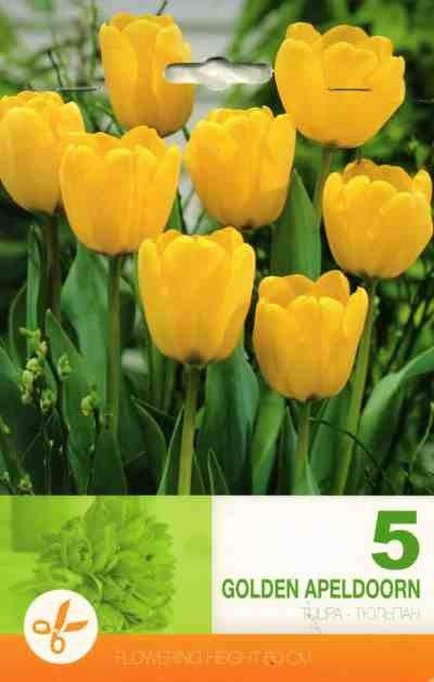 Bulbi de lalele Golden Apeldoorn - 5 bulbi