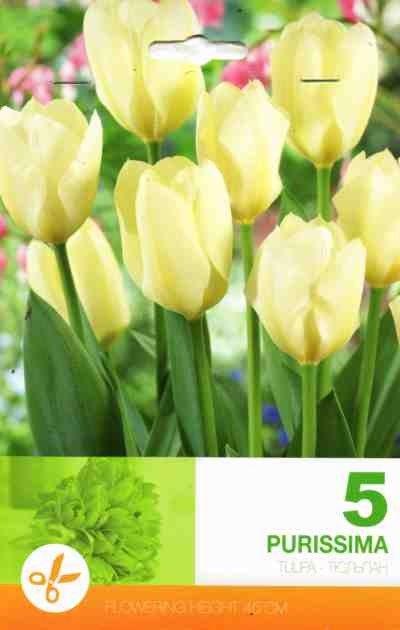 Bulbi de lalele Purissima - 5 bulbi