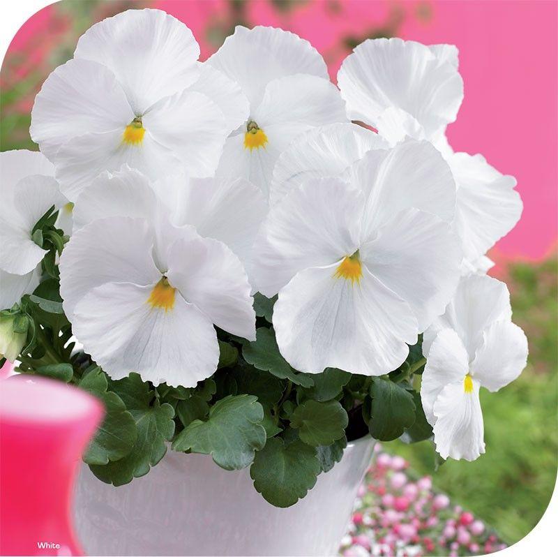 Viola witrockiana Goliath F1 White G-9