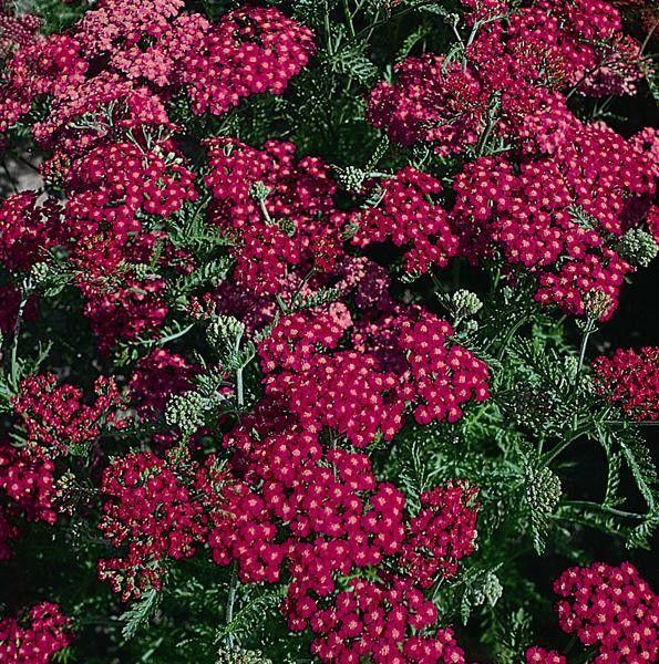 Seminte Achillea millefolium Cherry Queen