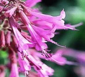 Seminte Agastache cana Heather Queen