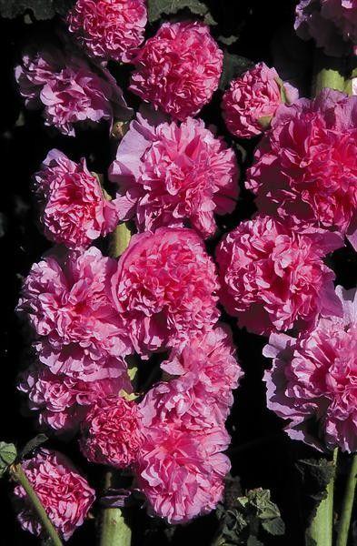 Seminte Alcea rosea Chater's Double Rose