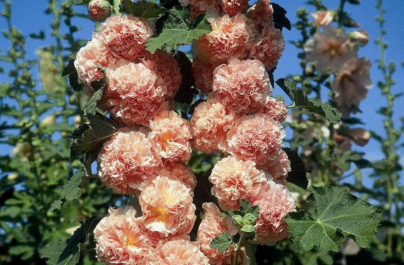 Seminte Alcea rosea Chater's Double Salmon/Pink