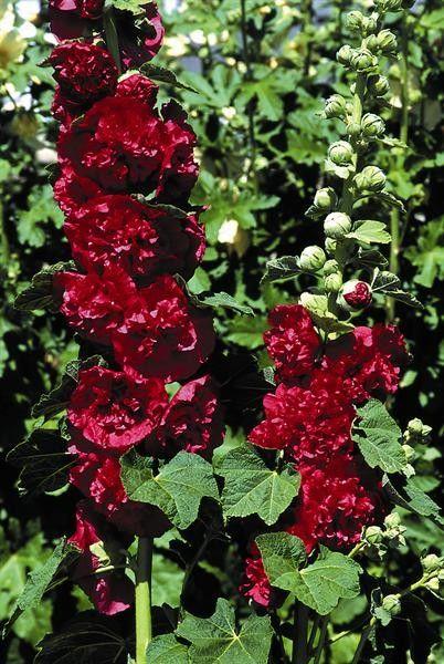Seminte Alcea rosea Chater's Double Scarlet