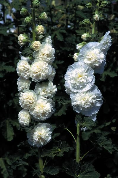 Seminte Alcea rosea Chater's Double White