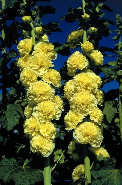 Seminte Alcea rosea Chater's Double Yellow