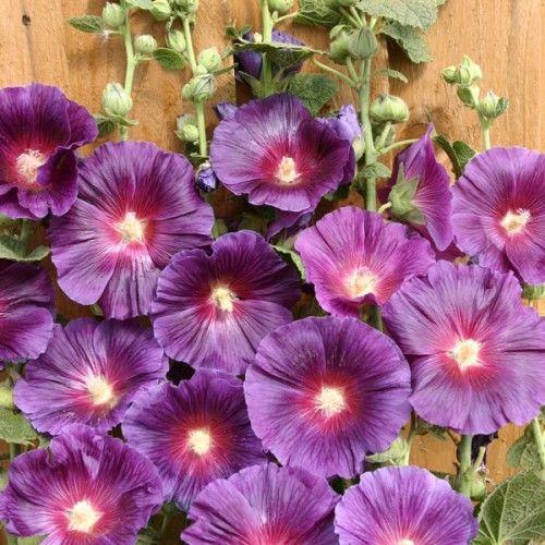 Seminte Alcea rosea Halo Lavender