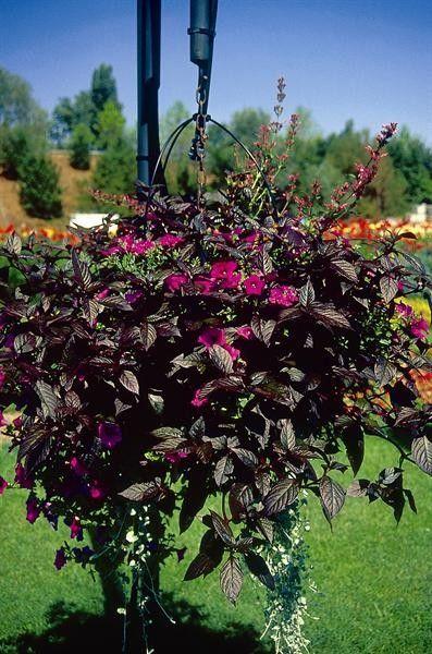 Seminte Alternanthera reineckii Purple Knight