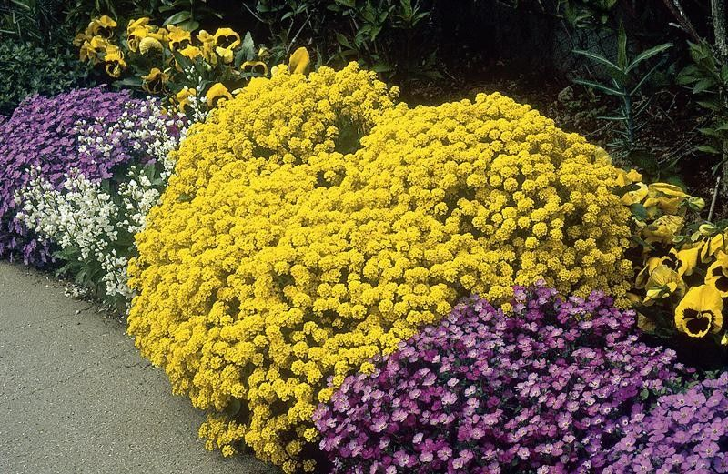 Seminte Alyssum montanum Mountain Gold