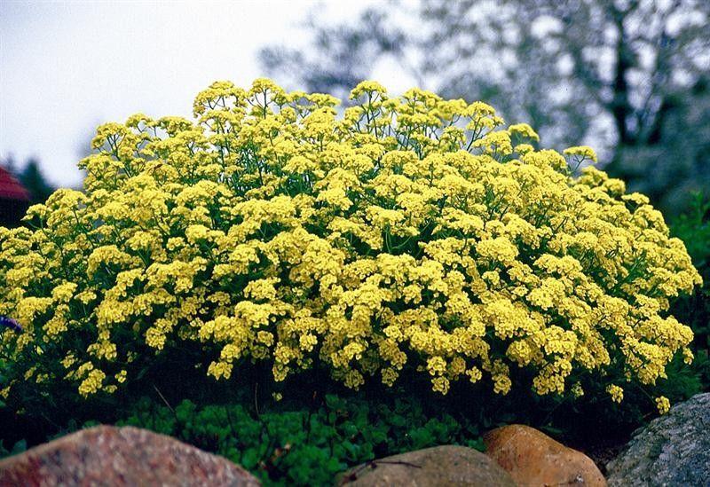 Seminte Alyssum saxatile Corbeille d'Or