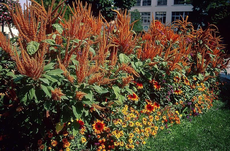 Seminte Amaranthus cruentus Hot Biscuits