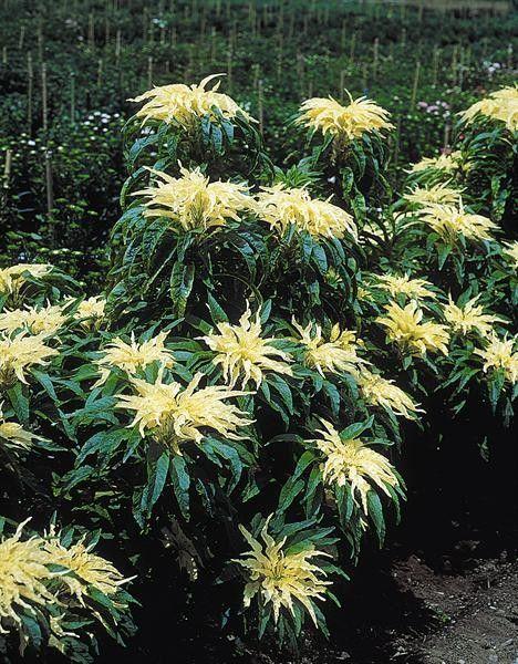 Seminte Amaranthus tricolor Aurora
