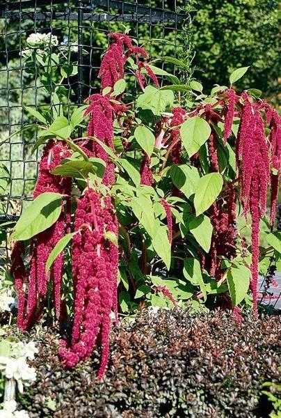 Seminte Amaranthus caudatus Queue Dark Red