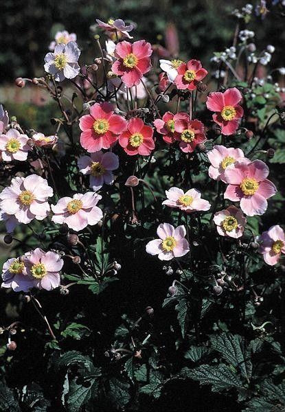 Seminte Anemone hupehensis Japonica Rose