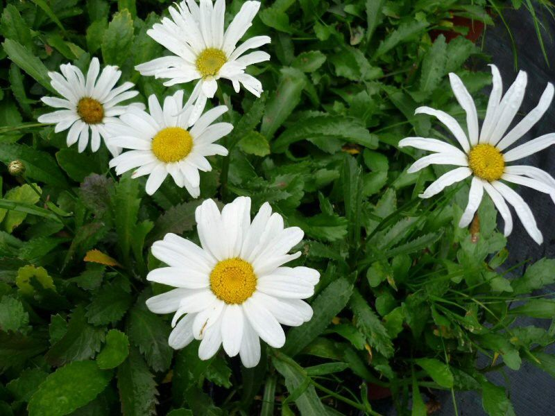 Leucanthemum maximum Silver Princess G-9