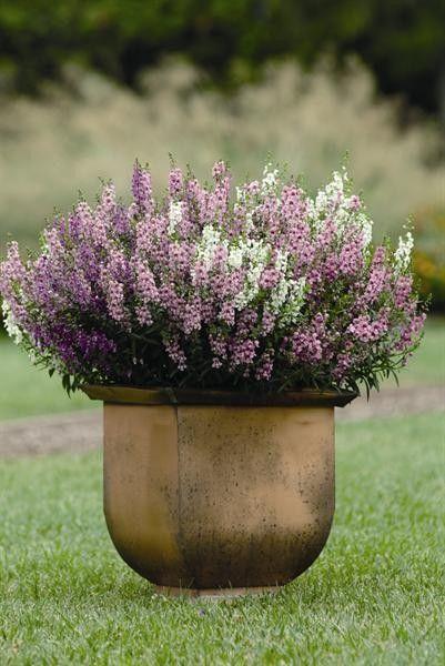Seminte Angelonia angustifolia Serena F1 mix drajerate