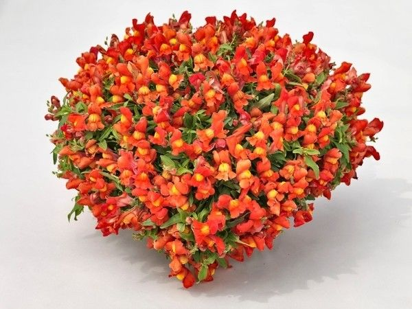 Seminte Antirrhinum Candy Showers F1 drj