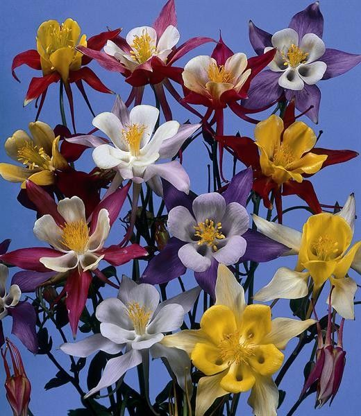 Seminte Aquilegia vulgaris McKana's Giants mix