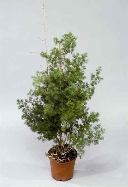 Seminte Asparagus myriocladus