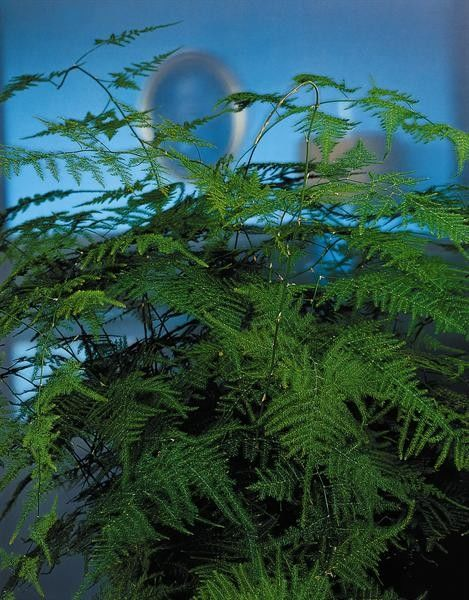 Seminte Asparagus setaceus plumosus Nanus
