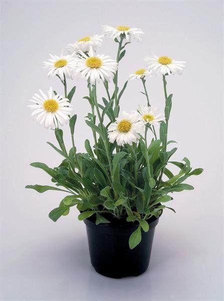 Seminte Aster alpinus White