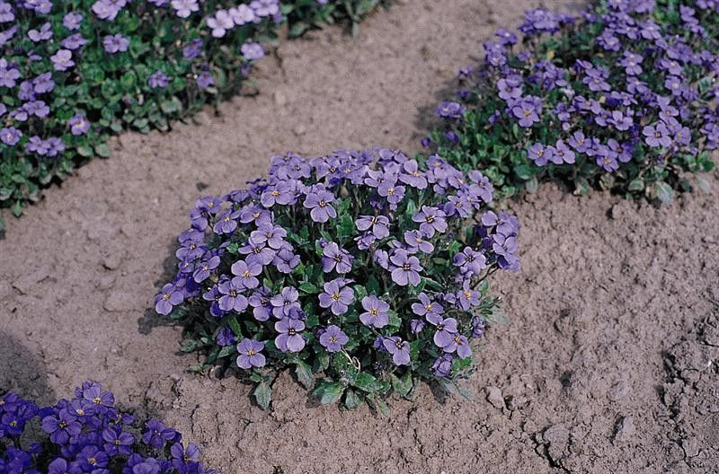 Seminte Aubrieta cultorum Cascade Blue