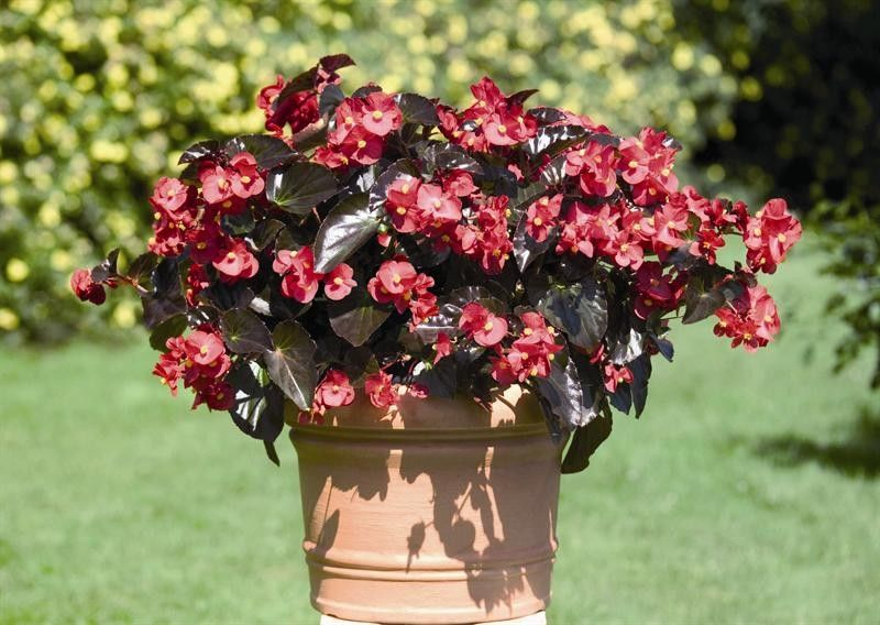 Seminte Begonia x hybrida Big F1 Red Bronze leaf