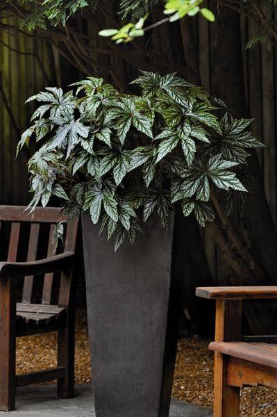 Seminte Begonia x hybrida Gryphon F1