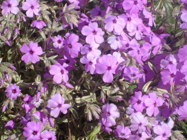 Phlox amoena variegata G-9