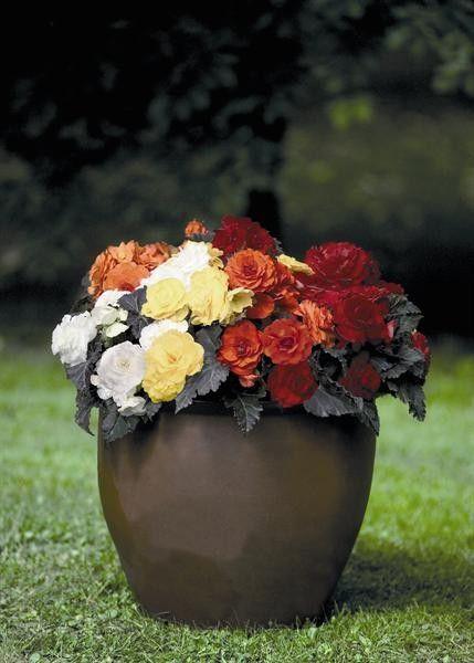 Seminte Begonia tuberhybrida Nonstop Mocca mix F1