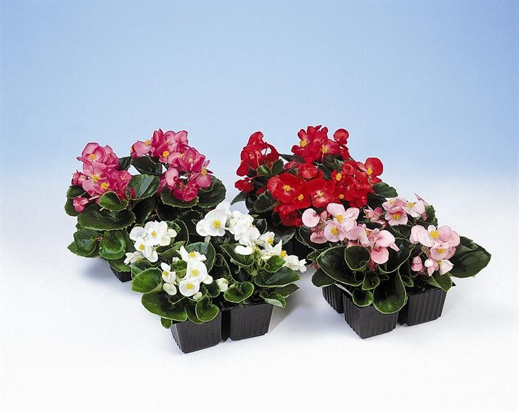 Seminte Begonia semperflorens Quick F1 mix 1 000 drajeuri - lichidare