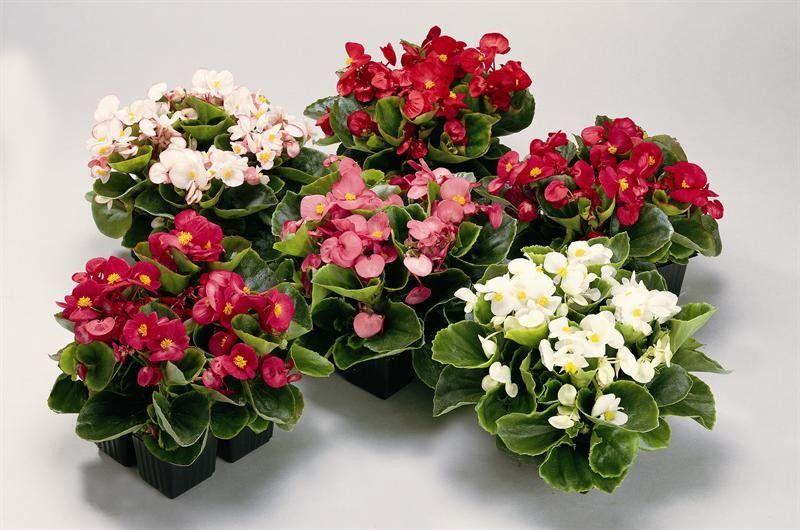 Seminte Begonia semperflorens Juwel F1