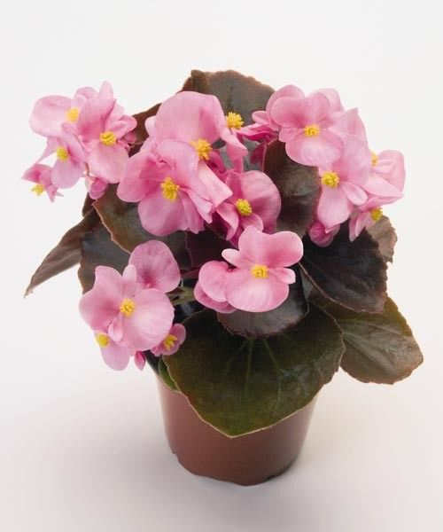 Seminte Begonia semperflorens Inferno F1 Rose Bronze leaf drajerate