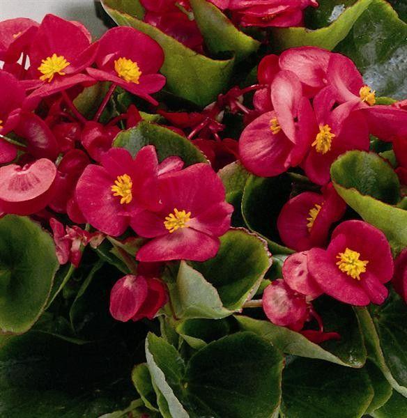 Seminte Begonia semperflorens Juwel F1 drj