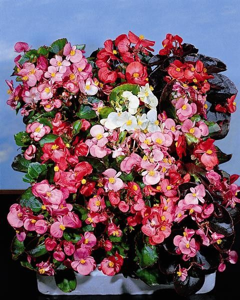 Seminte Begonia semperflorens Organdy F1 mix drajerate