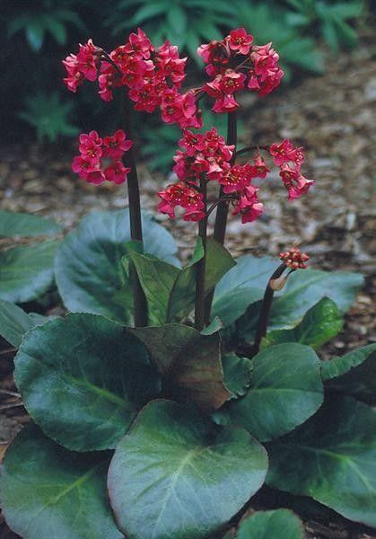 Seminte Bergenia cordifolia Winterglow