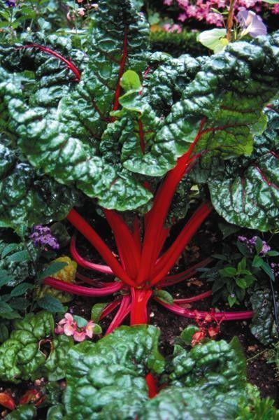 Seminte Beta vulgaris Rubin