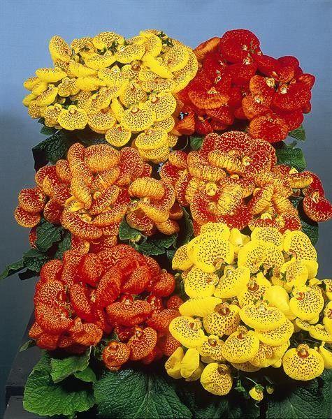 Seminte Calceolaria herbeohybrida Dainty F1 mix