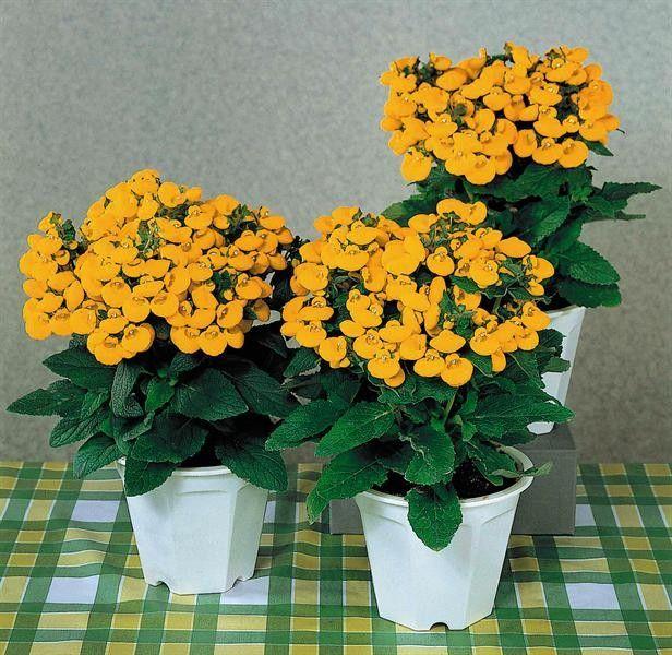 Seminte Calceolaria rugosa Golden Bunch F1