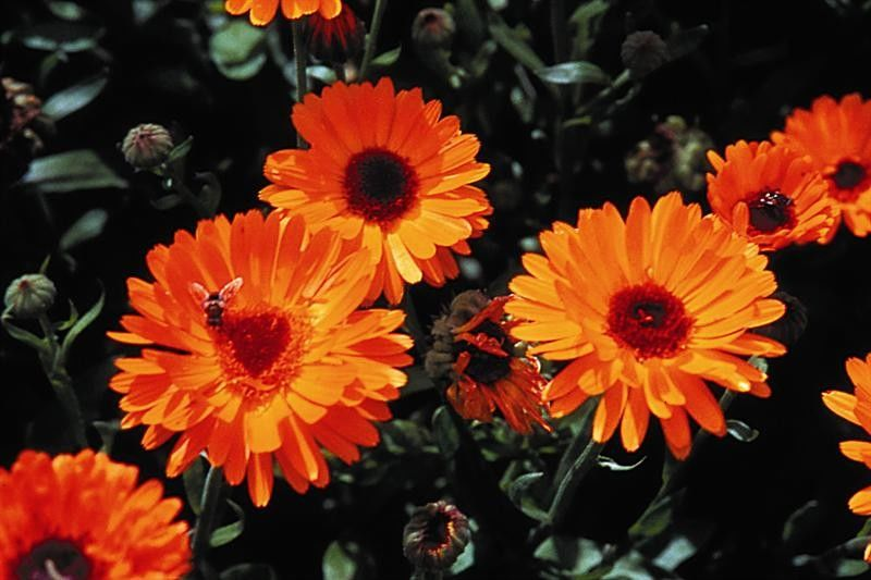 Seminte Calendula officinalis Ball's Orange