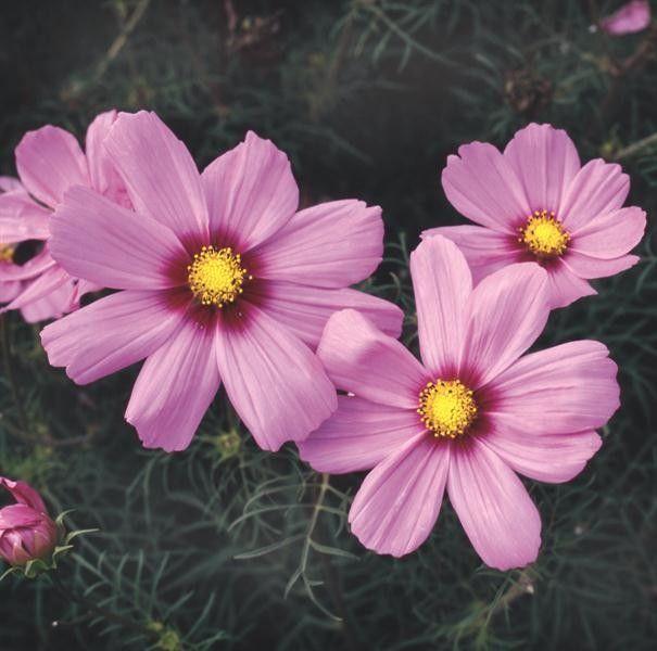 Seminte Cosmos bipinnatus Rosalie
