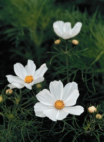 Seminte Cosmos bipinnatus Virgo Pure White