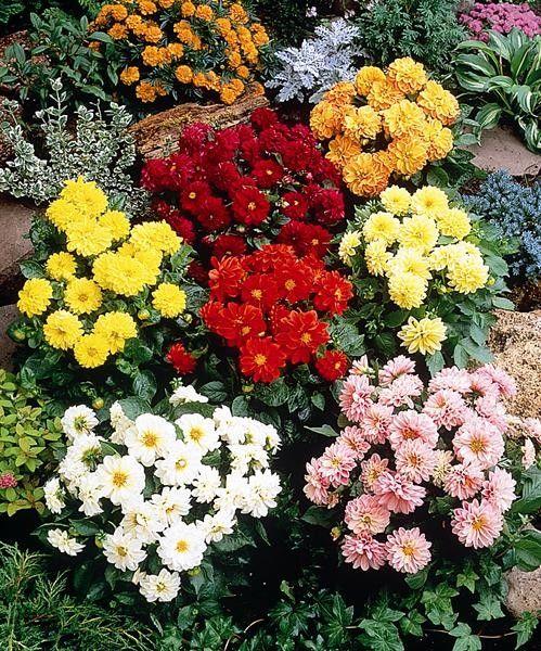 Seminte Dahlia variabilis Figaro mix