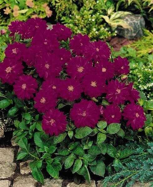 Seminte Dahlia variabilis Figaro Violet Shades
