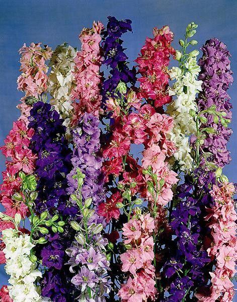 Seminte Delphinium ajacis Exquisite mix
