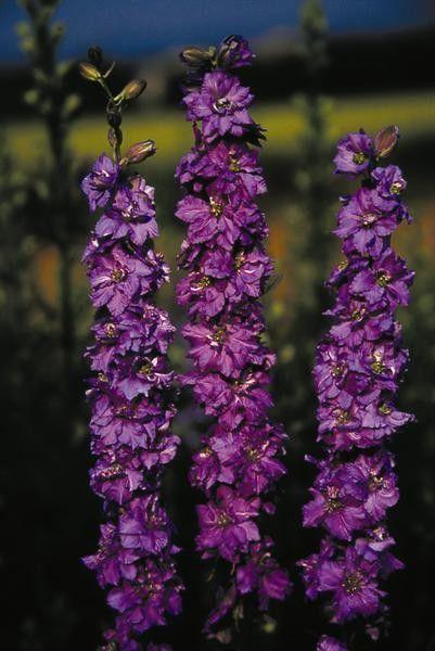 Seminte Delphinium ajacis Exquisite Lilac Spire