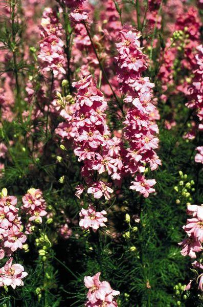 Seminte Delphinium ajacis Exquisite Pink Perfection