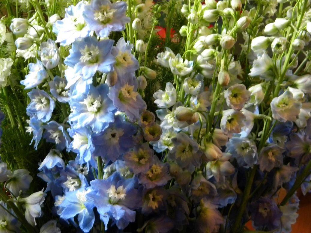 Seminte Delphinium ajacis Blue Cloud 5 g - lichidare