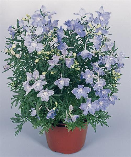 Seminte Delphinium grandiflorum Summer Blues 250 seminte - lichidare